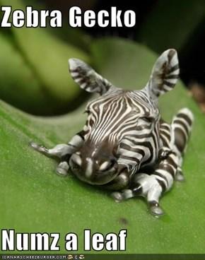 Zebra Gecko  Numz a leaf