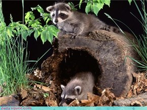 Baby Racoons!