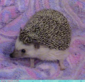 Pig On A Blanket
