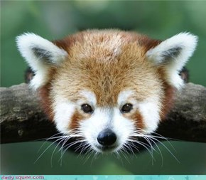 Red Panda Animal Orb