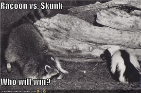 Racoon vs. Skunk  Who will win?