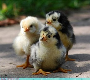 Don't Mess With These Chicks