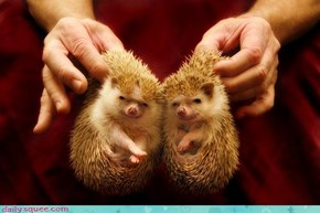 Acting Like Animals: Two of a Prickly Kind