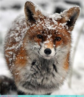Snow Dusted Fox