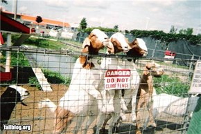 Even Goats Don't Follow Rules... (FAIL!)