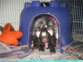 Spotted skunk yawning