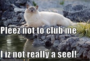 Pleez not to club me I iz not really a seel!