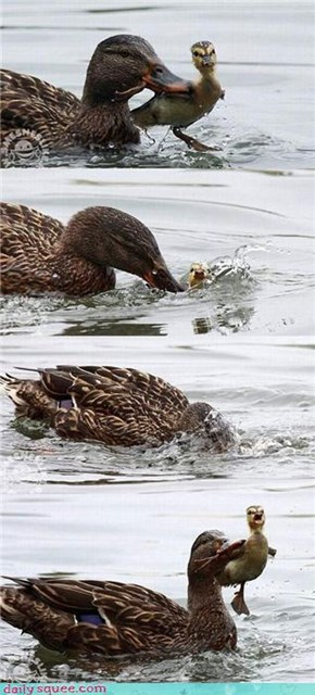 Dunking Duckling