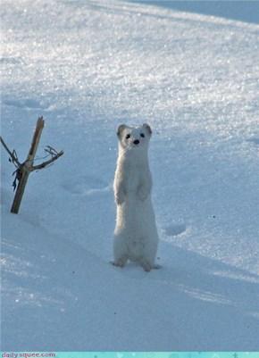 Snowy Weasel
