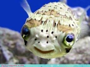 Shy Puffer Fish