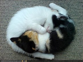 Cyoot Kittehs of the Day: Yin-Yang Cuties