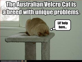 The Australian Velcro Cat is a breed with unique problems.
