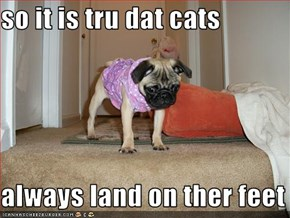 so it is tru dat cats   always land on ther feet