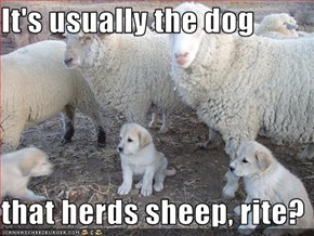 It's usually the dog  that herds sheep, rite?