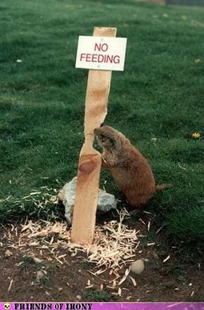 Beavers never listen