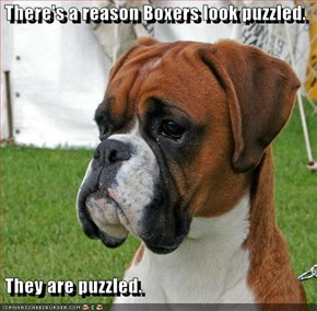 There's a reason Boxers look puzzled.   They are puzzled.