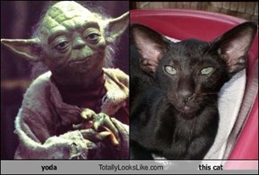 yoda Totally Looks Like this cat