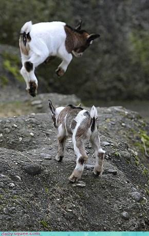 Pygmy Goat Ambush