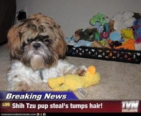 Breaking News - Shih Tzu pup steal's tumps hair!
