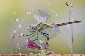 Girly Dragonfly Has Frilly Taste