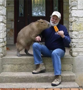 Silly Man! Popsicles are for Giant Amphibious Rodents!