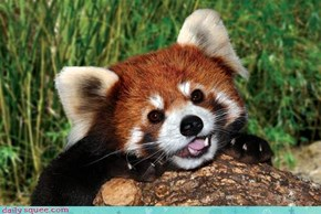 Red Panda Pose
