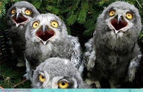 World Famous Owl Chick Quartet