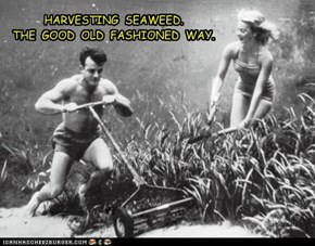 HARVESTING  SEAWEED.   THE  GOOD  OLD  FASHIONED  WAY.