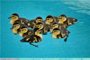 A Floatilla of Duckies