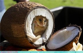 A squee in the coconut