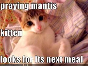praying mantis  kitten  looks for its next meal