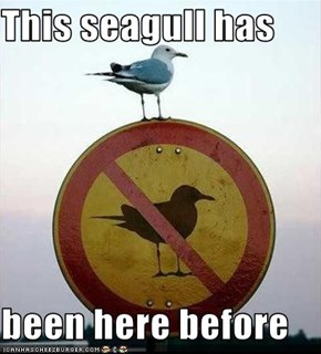 This seagull has  been here before