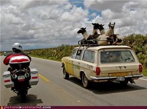 Lamas Love The Shaggin Wagon