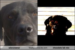 wieneramer Totally Looks Like chocolate lab mix