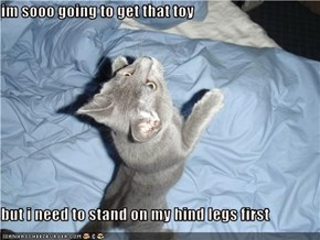 im sooo going to get that toy  but i need to stand on my hind legs first