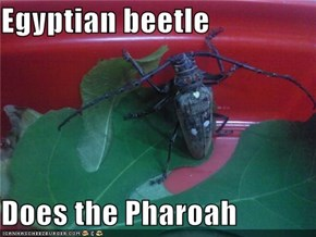 Egyptian beetle  Does the Pharoah