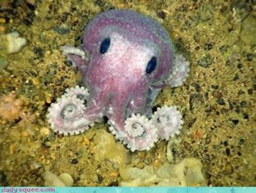 New Species of Octo-Squee!