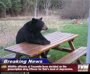 Breaking News - Wildlife officials at Yosemite have decided on the prescription drug Effexor for Bob's level of depression.