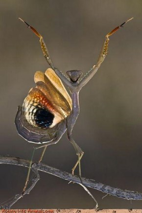 Mantis Position