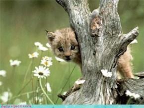 Baby Lynx!