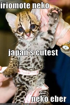 iriomote neko japan's cutest  neko eber