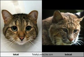 lolcat Totally Looks Like bobcat