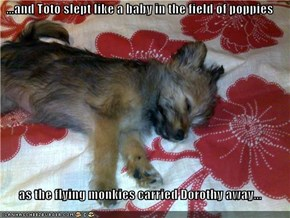 ...and Toto slept like a baby in the field of poppies  as the flying monkies carried Dorothy away...