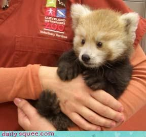 (Not so tiny) Red Panda
