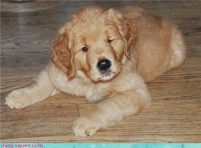 chubby puppy