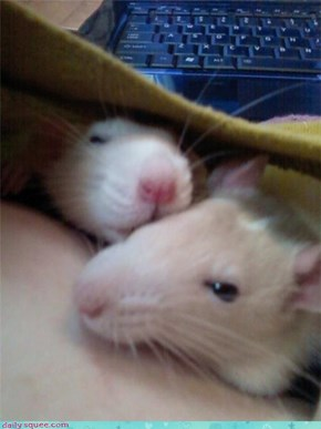 sleepy ratties