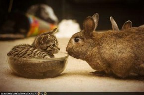 Cyoot Kitteh of teh Day: Ur a Hare 2 Big 2 Fit in Dis Bowl Wiff Meh