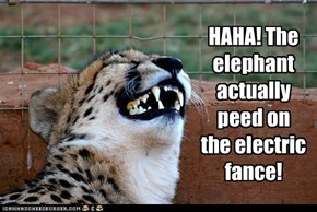 HAHA! The elephant actually peed on  the electric fance!