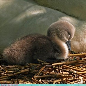 Sleepy Cygnet