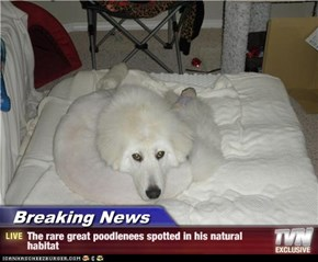 Breaking News - The rare great poodlenees spotted in his natural habitat